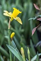 narciso amarillo en el jardín foto