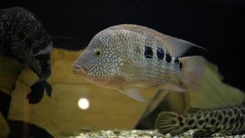 akvariefisk i akvariet video