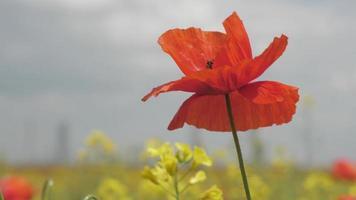 flores de papoulas vermelhas selvagens no campo video