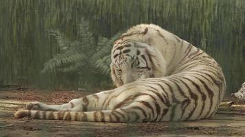 white bengal tiger licks itself tongue video