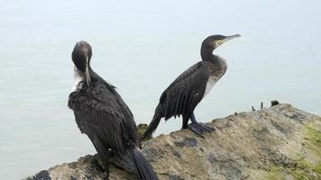Cormorants on stones in the sea video