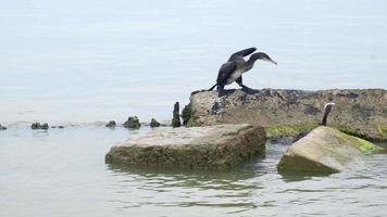 cormorans sur pierres dans la mer video