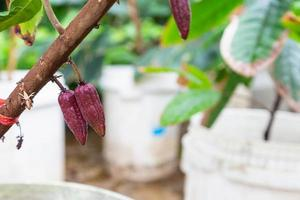 Young cocoa in cocoa tree photo