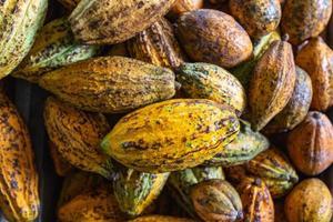Cocoa fruit background and cocoa pod photo