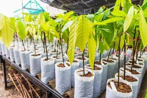Young cocoa Tree in Nursery photo