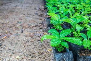 Seedlings of coffee plants in a nursery photo