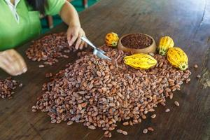 inspecting cocoa beans for quality by hand photo