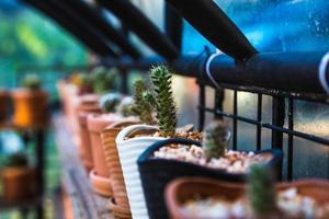 experimento para cultivar cactus en la granja. foto