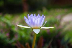 hermoso fondo de loto púrpura en el agua foto