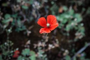 Flor de amapola roja sobre fondo borroso oscuro foto