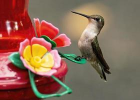 Female Ruby-Throated Hummingbird Perches on Feeder photo