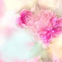 Pink peony flowers background with white frame floral bridal background or gift card photo