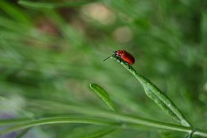 Small red beetle on a lavender leaf photo