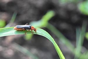 Large beetle on a green leaf photo