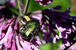 Large green beetle among purple flowers photo