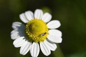 una flor de manzanilla foto
