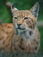 Eurasian lynx in zoo photo