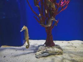 Seahorses in an aquarium photo