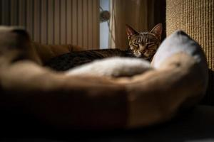 un lindo gato de la sabana en su cama foto