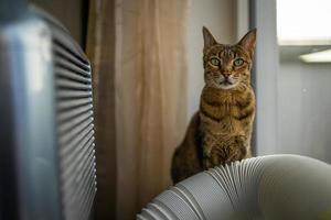 foto interior del gato de la sabana
