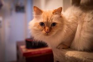 foto interior del gato sagrado birman