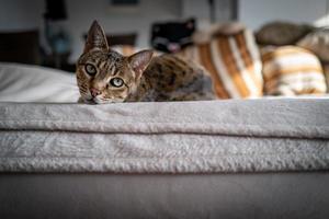 un lindo gato de la sabana en un sofá foto