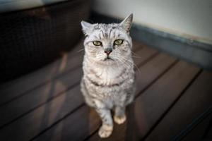 un lindo gato británico de pelo corto foto