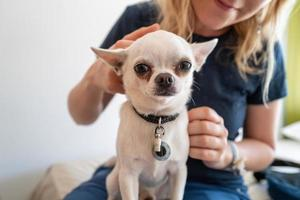 un pequeño perro pincher blanco con una niña foto