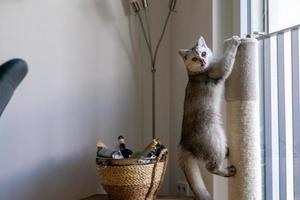 un lindo gato británico de pelo corto en un poste para raspar foto