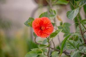 Flor de hibisco rojo en un jardín en Río de Janeiro. foto