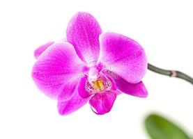orquídea rosa sobre blanco foto