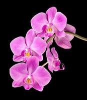 pink orchid on black photo