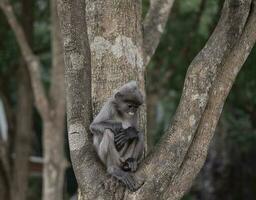 Colobinae also gray Langur eating fruit long tailed monkey on the tree photo