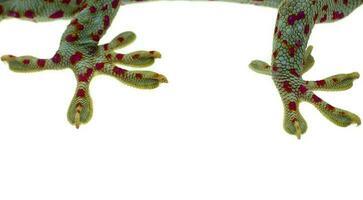 Cerrar la pierna y los dedos gecko sobre fondo blanco. foto