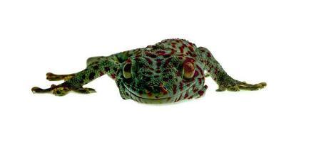 gecko sobre fondo blanco foto