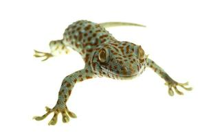 tokay gecko sobre fondo blanco foto