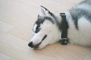 cachorro de husky siberiano durmiendo en el suelo. foto