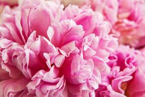 Peony flowers as a background photo