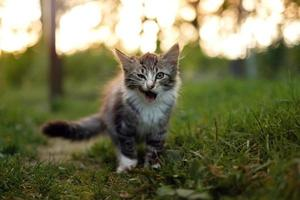 Cat with tongue out in the grass photo