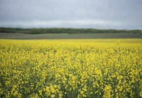Yellow rapeseed flowers on field photo
