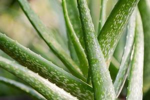 Close up Aloe Vera Plant photo