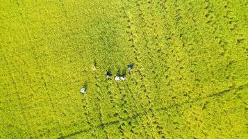 Aerial top view of Farmer working in the rice fields photo