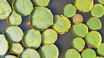 Aerial photo top view of Victoria water lilies