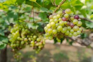 Viñedo con uvas de vino blanco en el campo, soleados racimos de uva cuelgan de la vid foto
