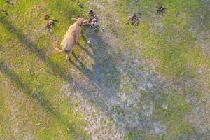 Aerial top view of a cow on green meadow photo