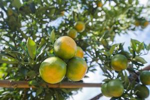 Orange plantation garden, Ripe orange hanging on a tree photo