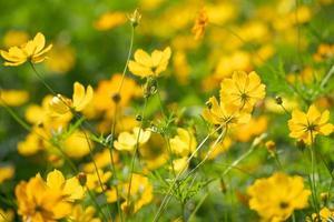 fondo de flores de cosmos amarillo foto