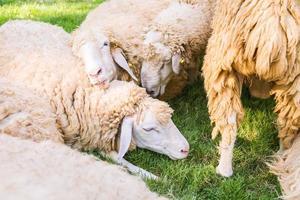 ovejas en pasto verde foto