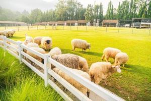 Sheep on green grass photo