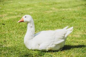 White goose bird photo